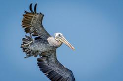 Brown Pelican 7