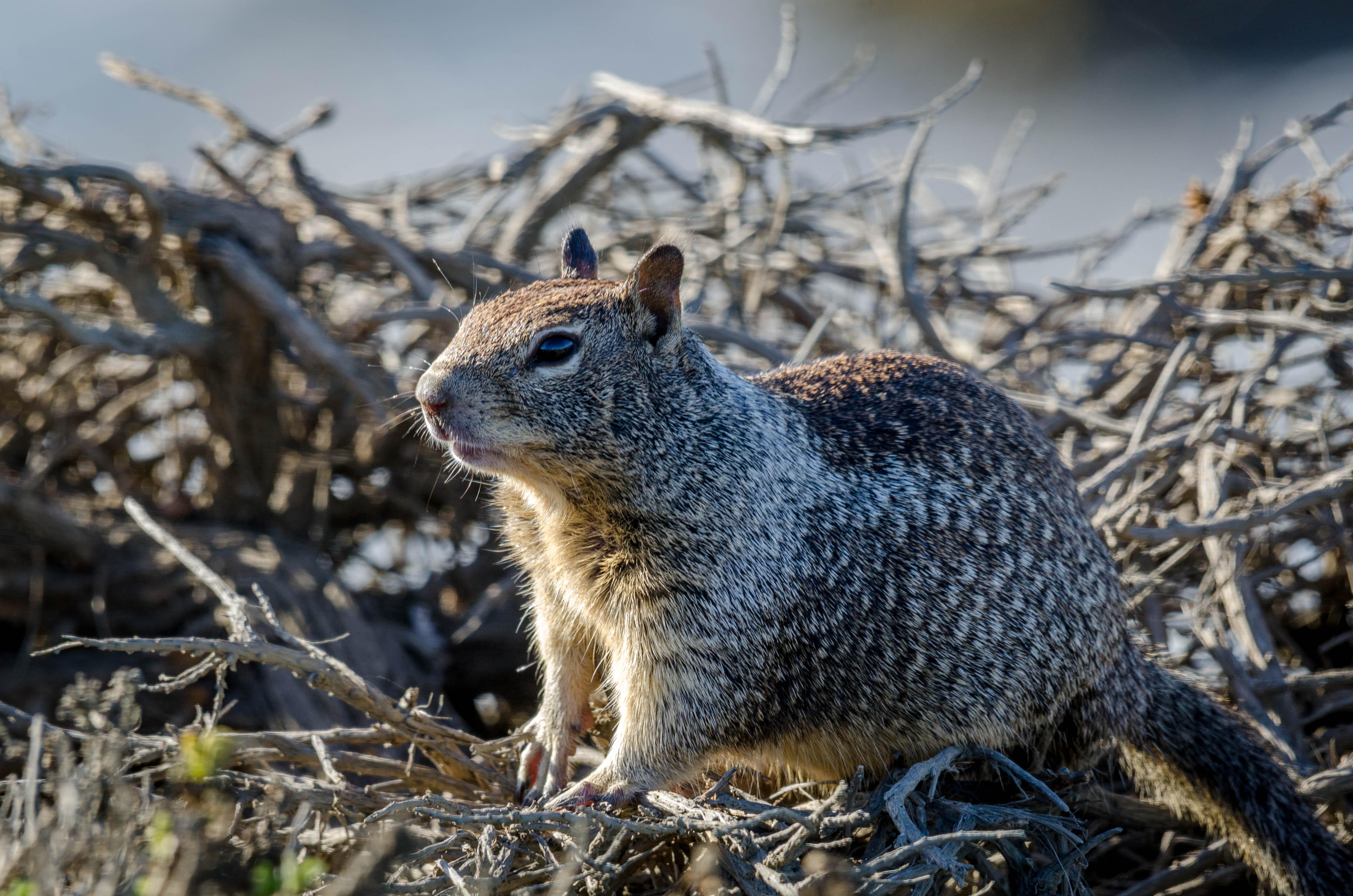 California Ground Squirrel 3