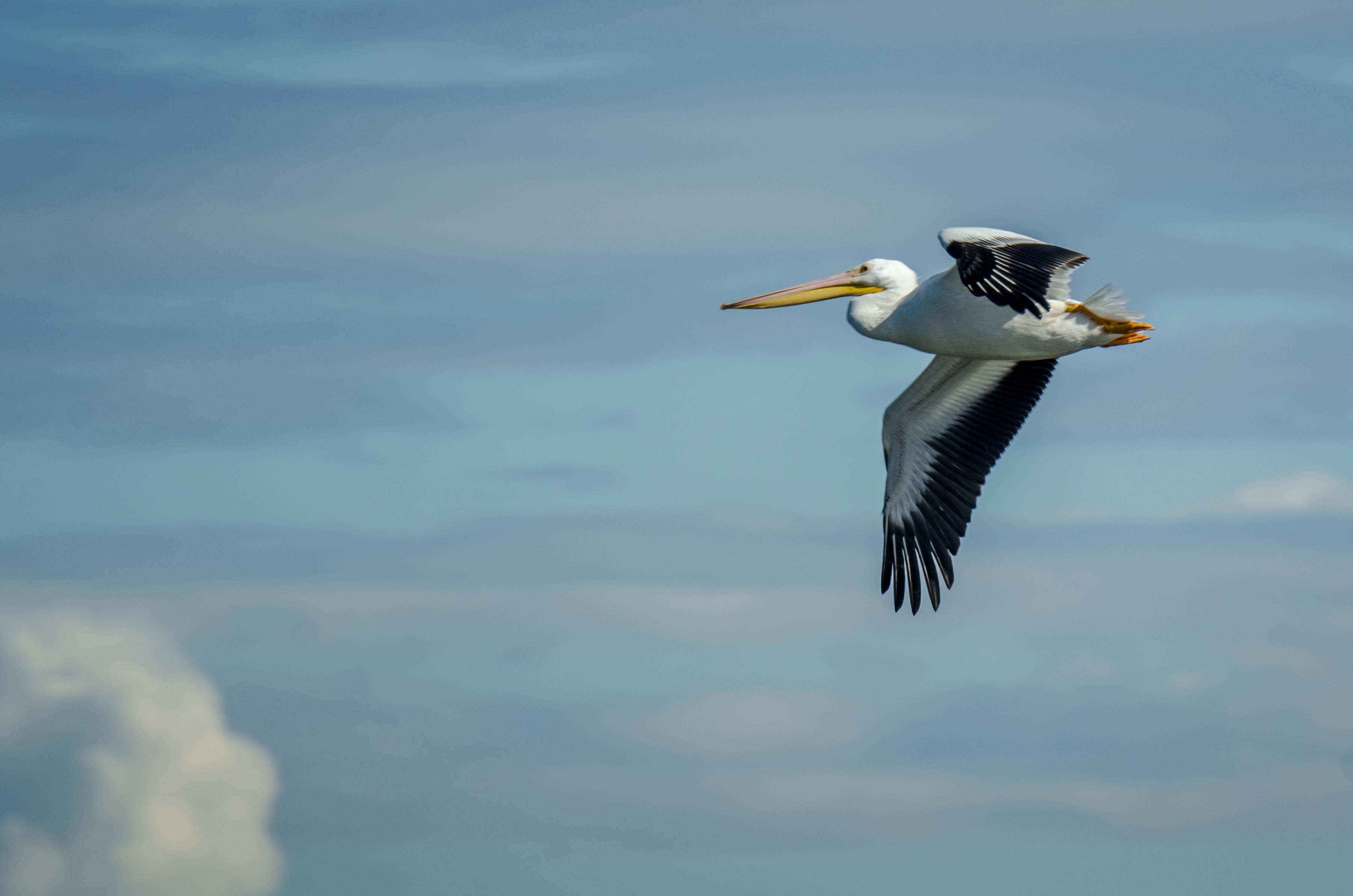 American White Pelican 1
