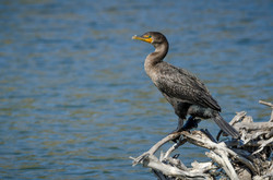 Double-Crested Cormorant 5