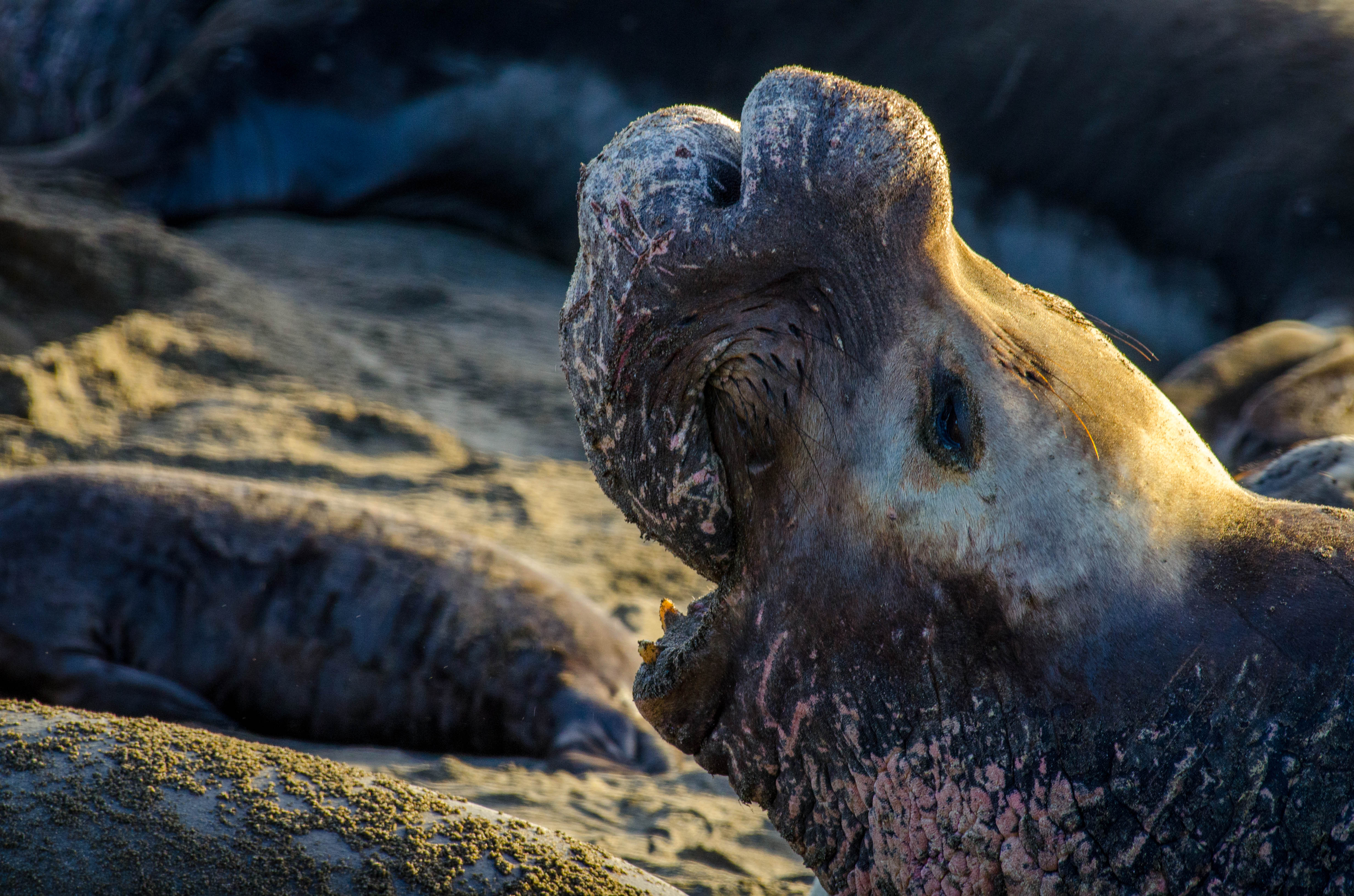 Elephant Seal 22