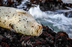 Harbor Seal 6