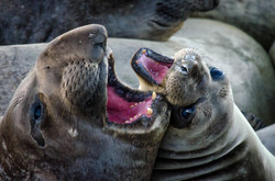 Elephant Seal 15