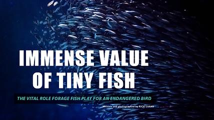 Forage fish. Wildlife conservation. California Least Terns. Audubon