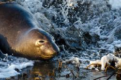 Elephant Seal 13