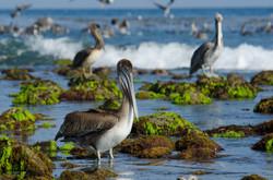 Brown Pelican 24