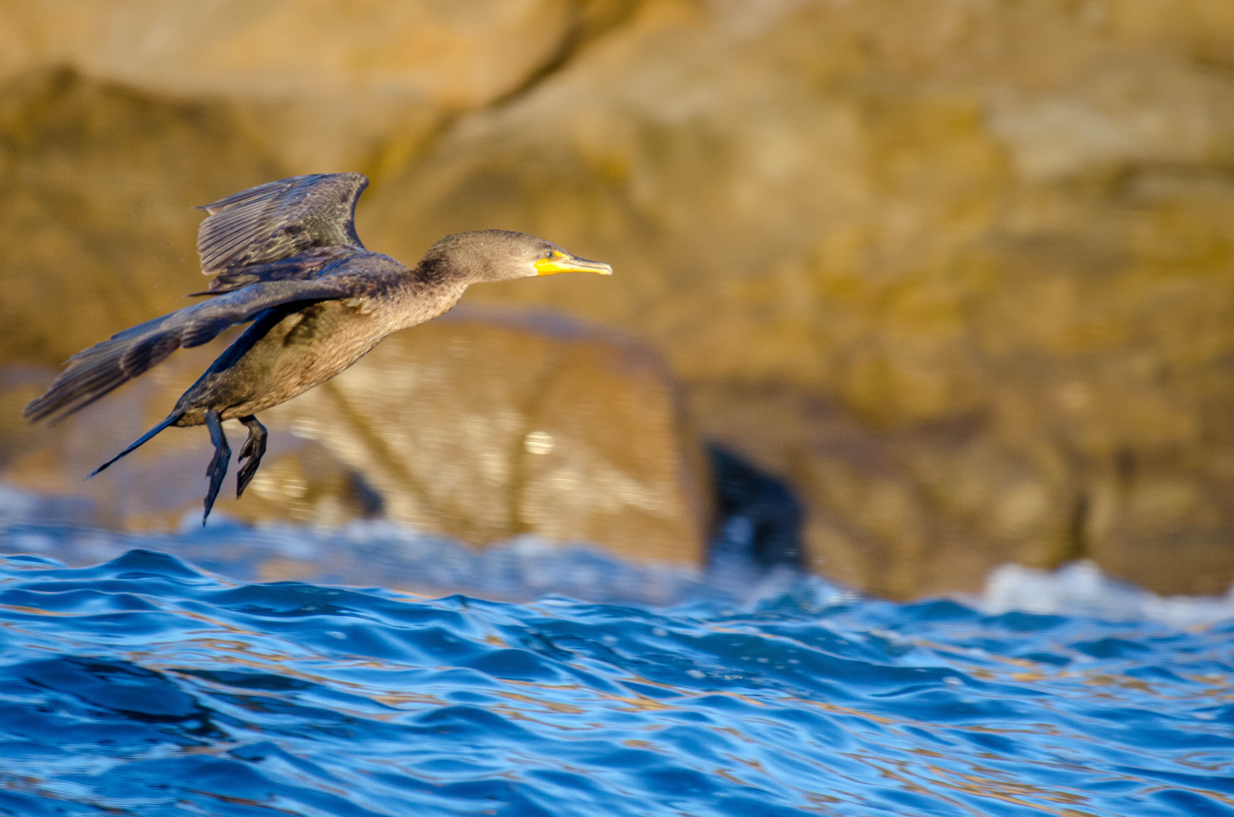 Double-Crested Cormorant 2
