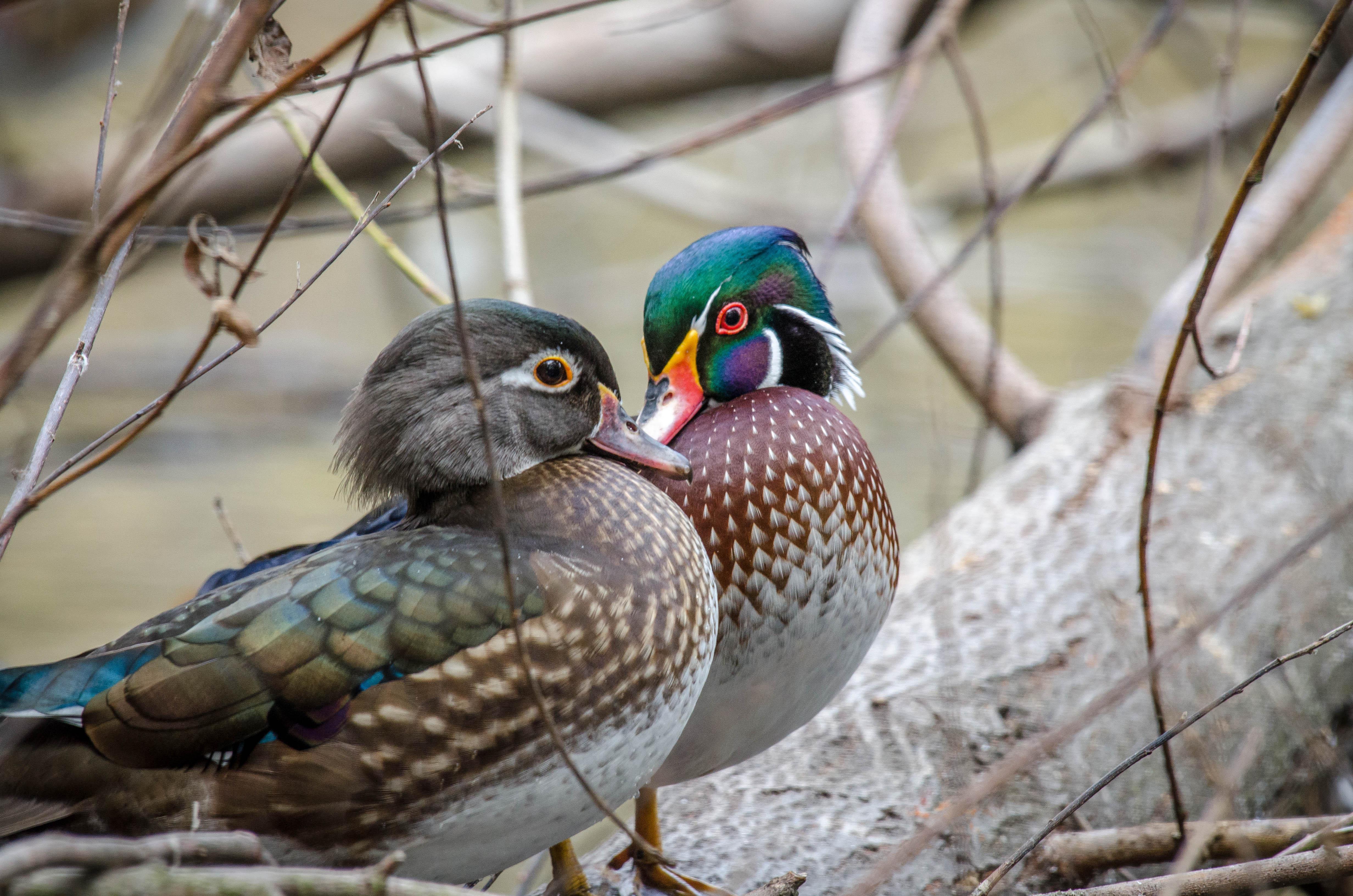 Wood Duck 7
