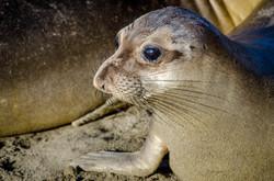 Elephant Seal 9