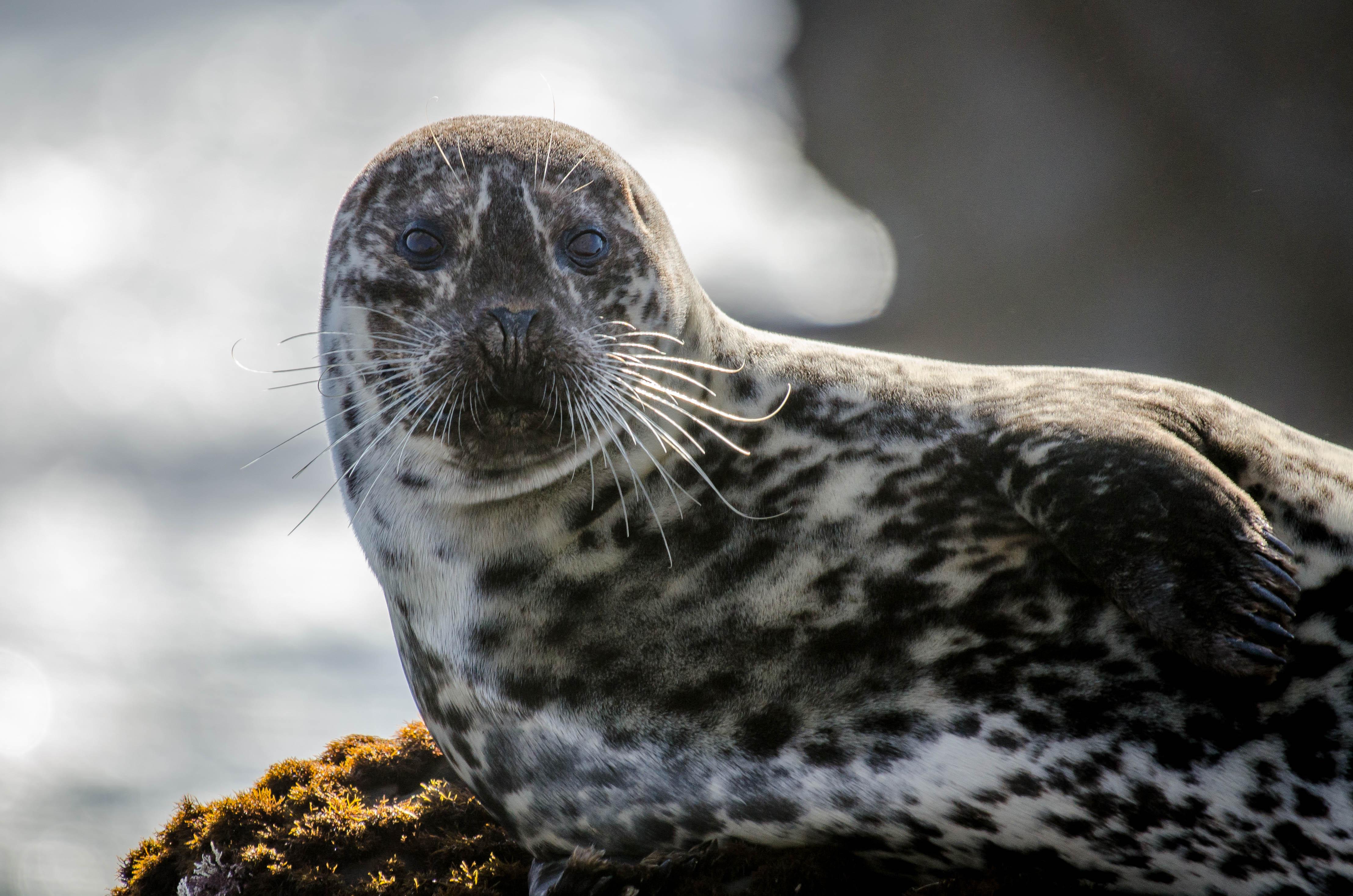 Harbor Seal 4