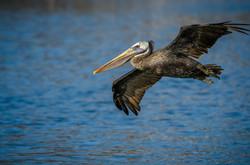 Brown Pelican 21