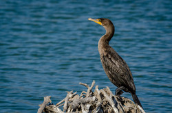 Double-Crested Cormorant 3