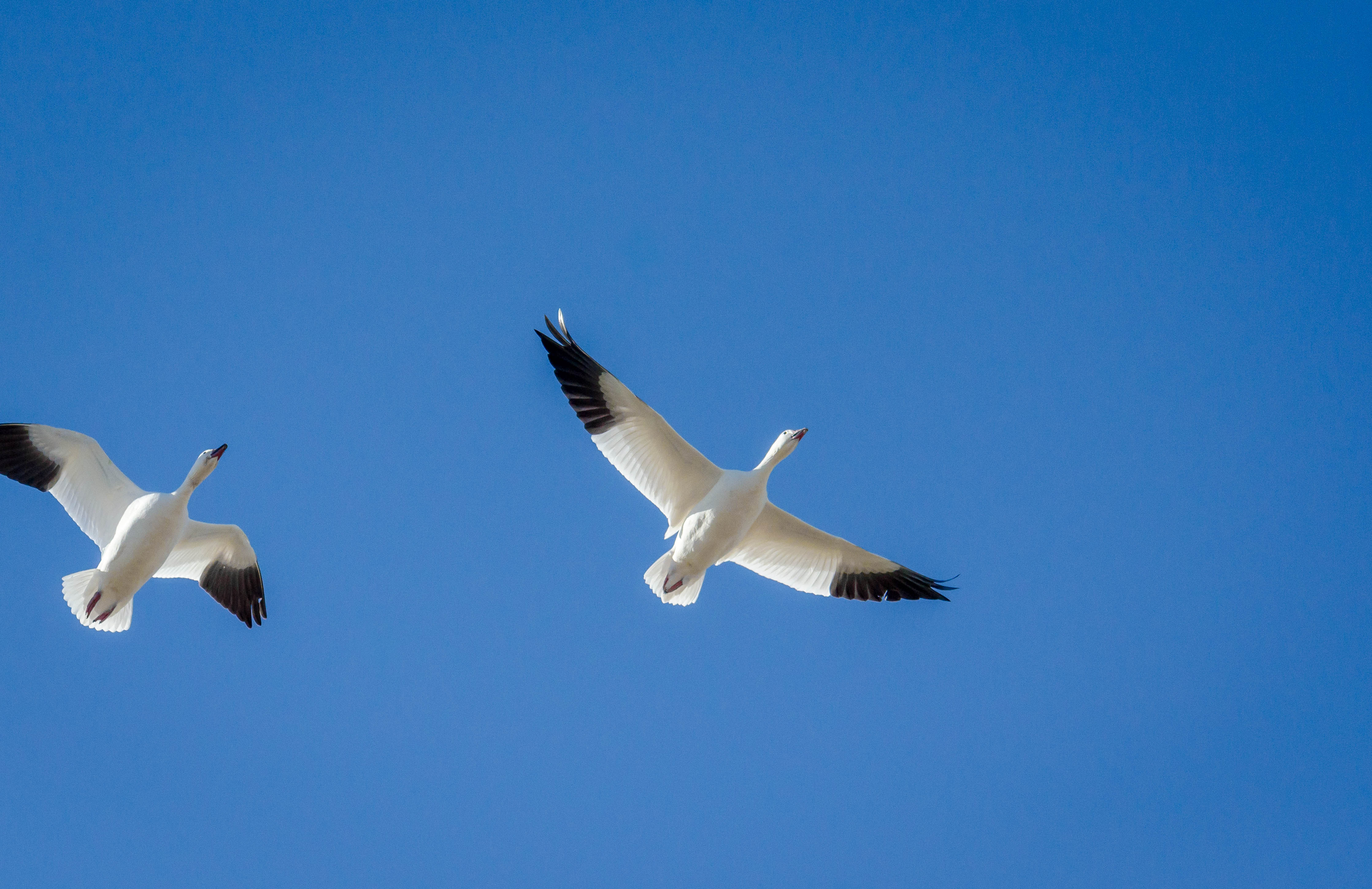 Snow Goose 17