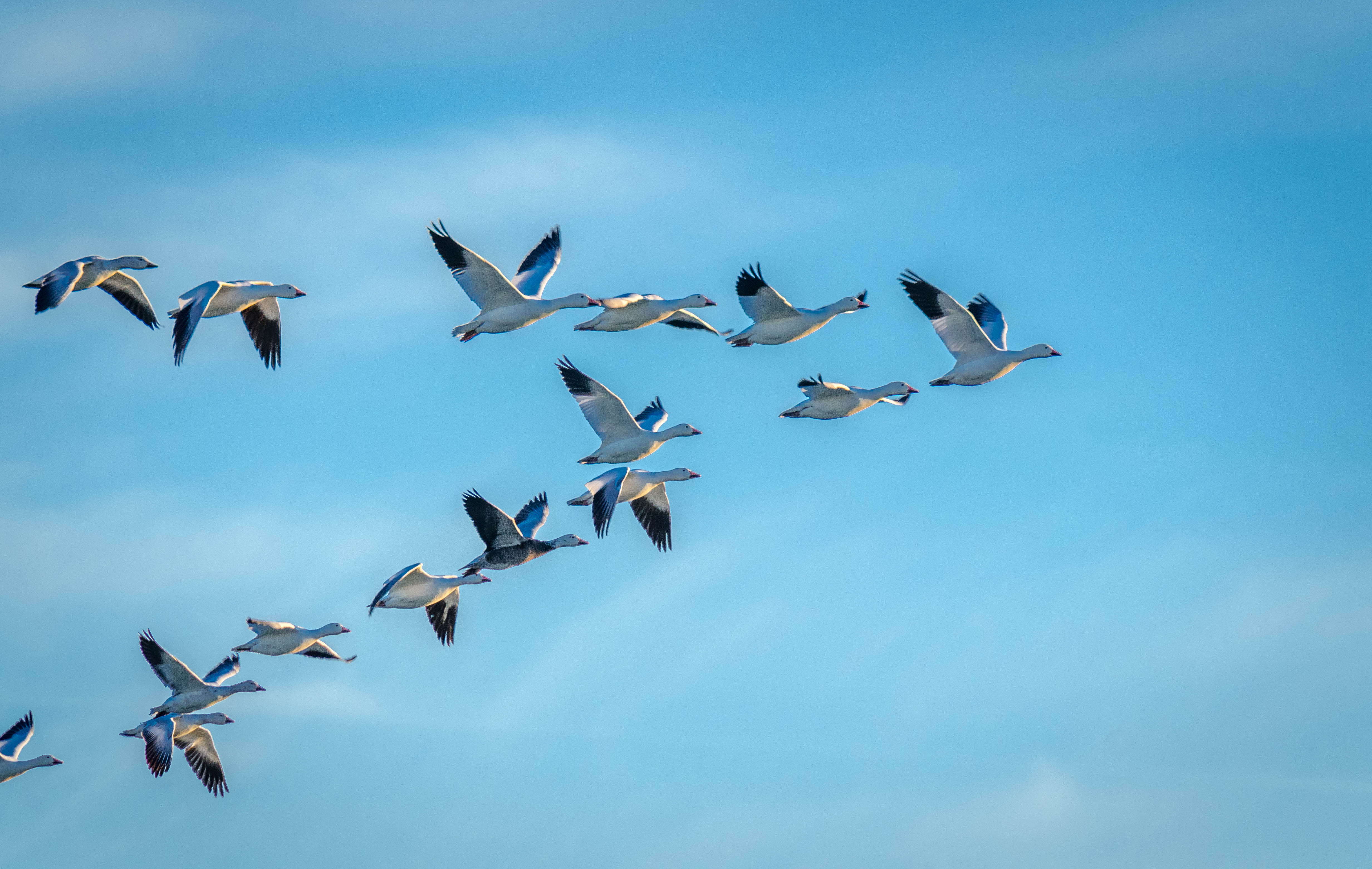 Snow Goose 21