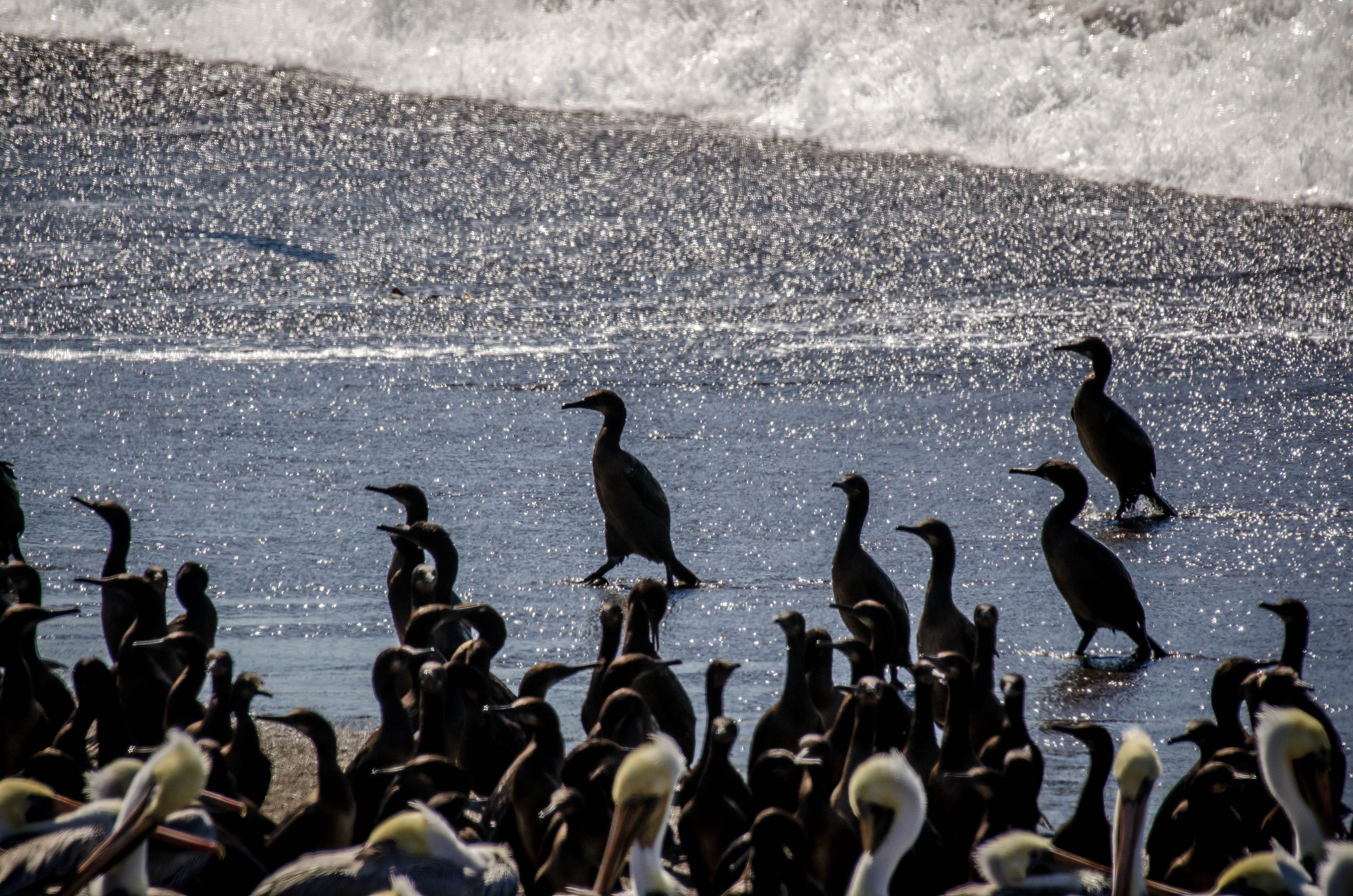 Pelagic Cormorant 2