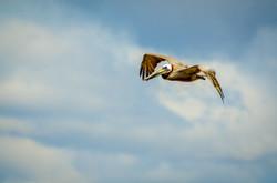 Brown Pelican 15