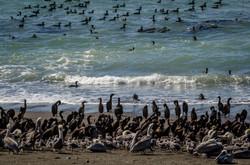 Cormorants + Brown Pelicans 2