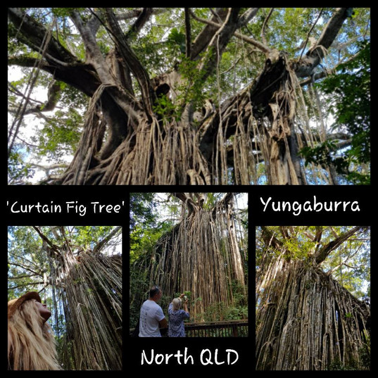 Yungaburra Fig Tree, Nth QLD