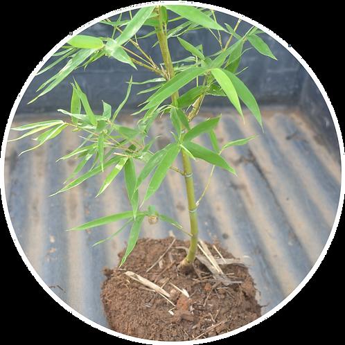 Muda de Bambu Phyllostachys aurea