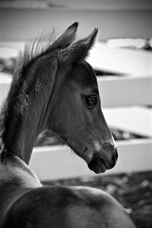 cp foal 2.jpg