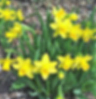 Williamsfield garden club daffodils.jpg