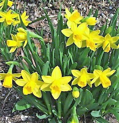 Williamsfield_garden_club_daffodils.jpg