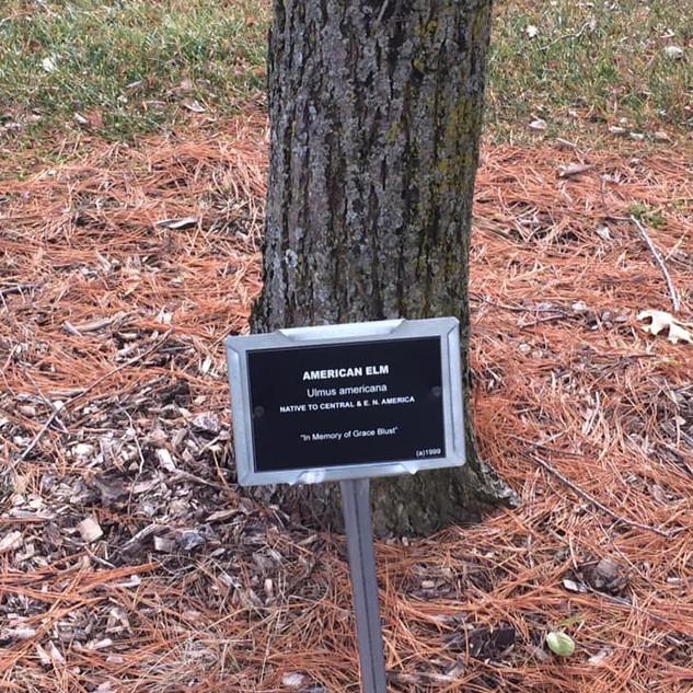 Arboretum American Elm.jpg