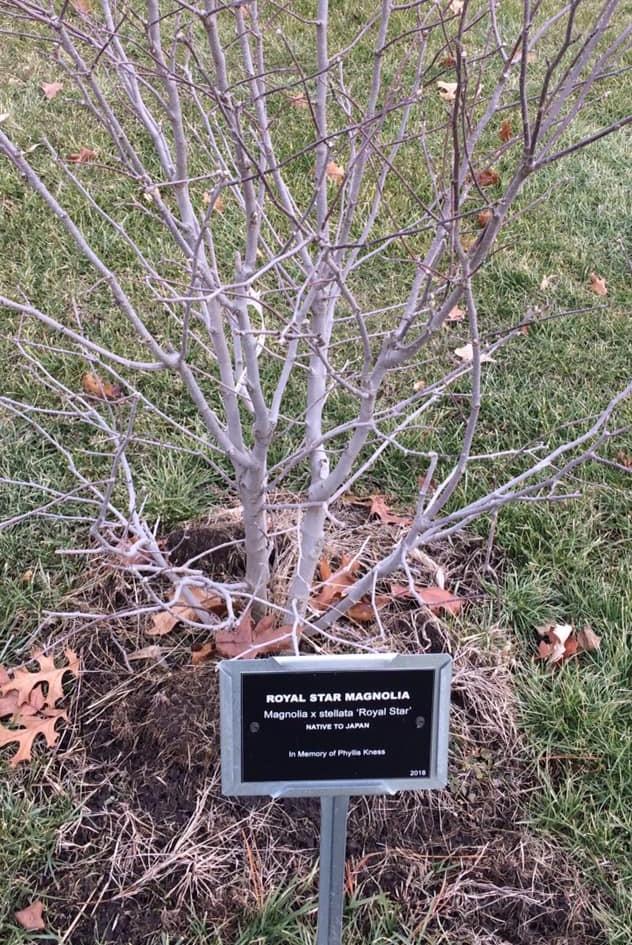 Arboretum Royal Star Magnolia.jpg