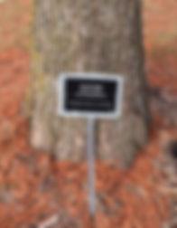 Arboretum Bald Cypress.jpg