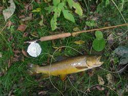 Butter and Honey brown trout