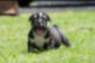 A Darr's Bullies English Bulldog Puppies, english bulldog puppies for sale