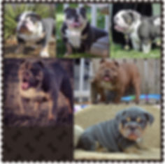 Collage of Darr's Bullies Studs Available,English Bulldog Breeding, English Bulldog Puppies for sale
