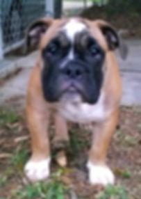 english bulldog,english bulldog puppies,old english bulldog,english bulldog puppies for sale,bulldogs for sale
