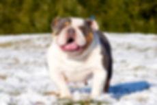 A Darr's Bullies English Bulldog Stud. Engish Bulldog puppies for sale.