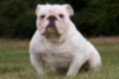 Darr's Bulles Case, a Darr's Bullies English Bulldog Stud Available for breeding