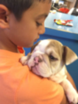 A Darr's Bullies Engish Bulldog Puppies, english bulldog puppies for sale