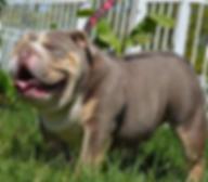 Sire for Darr's Bulles Bane, a Darr's Bullies English Bulldog Stud Available for breeding