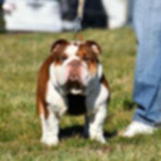 Darr's Bullies Kola, a Darr's Bullies English Bulldog Stud Available for breeding