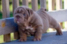 Image of a Darr's Bullies Rare English Bulldog Puppy