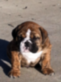 english bulldog,english bulldog puppies,old english bulldog,english bulldog puppies for sale,bulldogs for sale