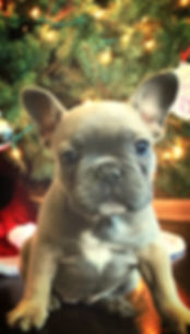 A Darr's Bullies bulldog puppy. Bulldog puppies for sale.