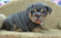 A Darr's Bullies English Bulldog Puppy for Sale