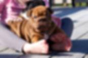 A Darr's Bullies english bulldog. Bulldog puppies for sale.