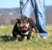 Darr's Bullies Diddy Kong, a Darr's Bullies English Bulldog Stud Available for breeding