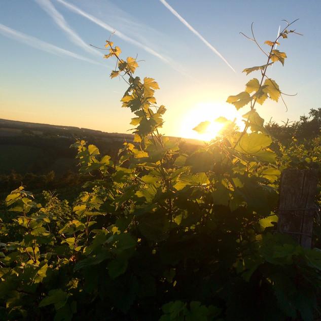 Weinberg Sonnenuntergang2.jpg