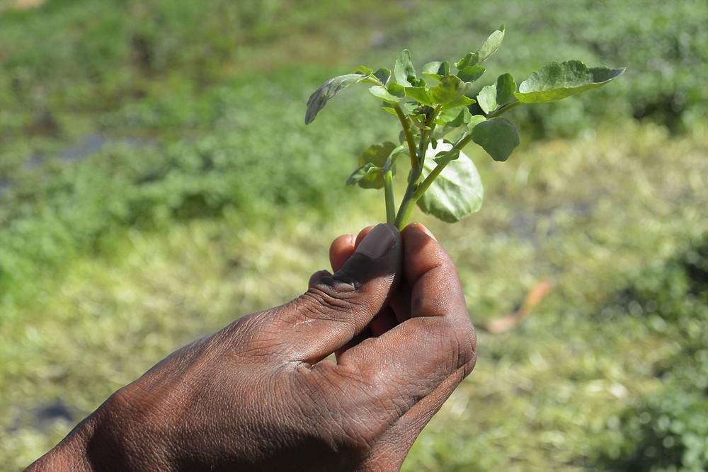 Grönsak på dem lokala odlingarna i utkanten av Moshi, Tanzania.