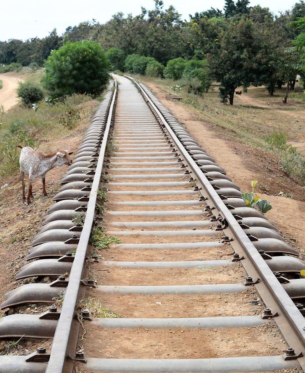 Gammalt, nerlagt järnvägsspår och en get i utkanten av Moshi, Tanzania.