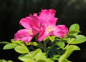 Rosa Selvatica o Canina