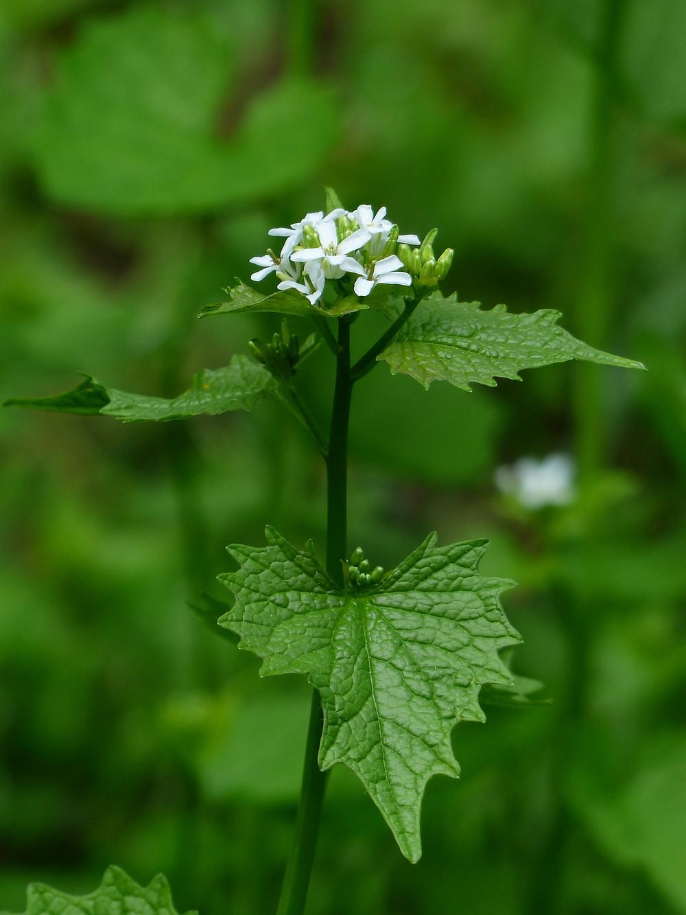 Alliaria - Alliaria petiolata