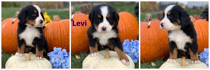 Levi - male - tan.jpg